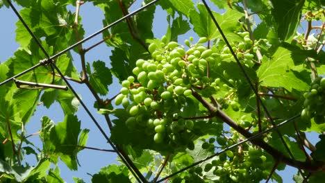Greece-Crete-Young-Grapes