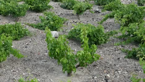 Greece-Santorini-Grape-Vines