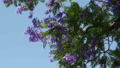 Greece-Jacaranda-Tree-Blooms