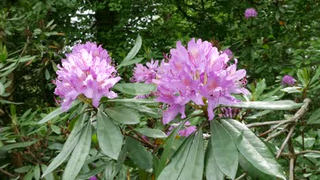 Ireland-Rhododendron-Flowers-In-Sun