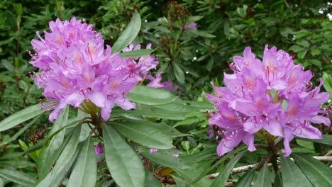 Ireland-Rhododendron-Flowers