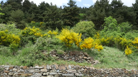 Spain-Catalan-Spanish-Broom-Growing-On-Slope