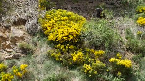 Spain-Pyrenees-Spanish-Broom-Flowers