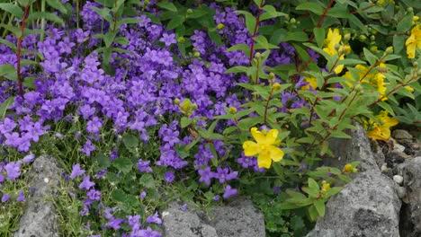 Ireland-County-Clare-Adria-Bellflower-And-Hoary-Rockrose