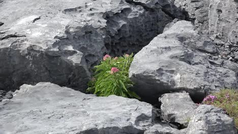 Ireland-County-Clare-Zoom-From-Flower-In-Crack