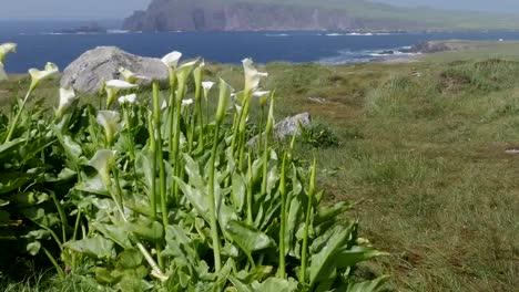 Ireland-Dingle-Peninsula-Coastal-Landscape-With-Calla-Lilies-Tilt-Up