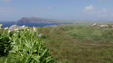 Ireland-Dingle-Peninsula-Coastal-Landscape-With-Calla-Lilies