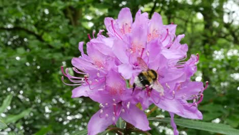 Ireland-Rhododendron-Pink-Flowers-With-Bumblebee