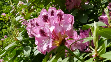 Ireland-Rhododendrons-Pink-And-Magenta-Flowers-In-Sun