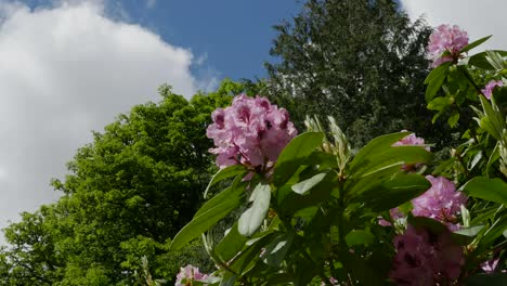 Ireland-Rhododendrons-Pink-And-Magenta-Flowers-Up-High
