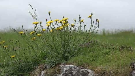 Irlanda-La-Hierba-Burren-Y-La-Alga