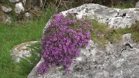 Ireland-The-Burren-Limestone-Rocks-With-Wild-Thyme