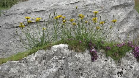Ireland-The-Burren-Limestone-Rocks-With-Yellow-Hawksweed-Blowing
