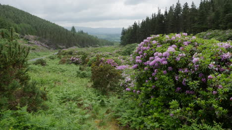 Ireland-The-Vee-Rhododendron-Covered-Slopes