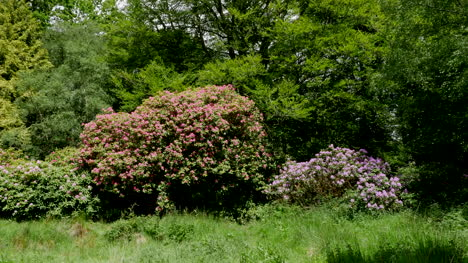 Ireland-Woodland-With-Rhododendron-Shrub