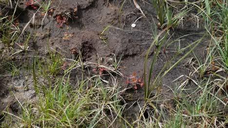 Irland-Clara-Moor-Fleischfressende-Fliegenfallenpflanze-Im-Schlamm