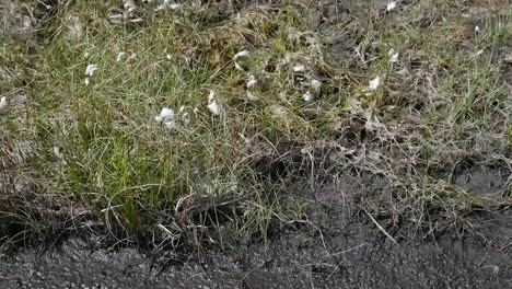 Ireland-Clara-Bog-Cotton-Grass-And-Mud