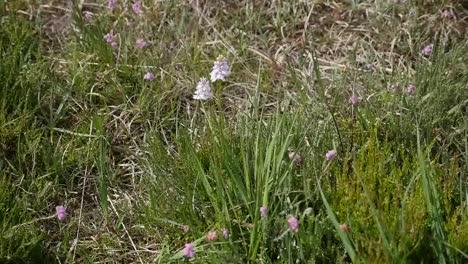 Irland-Clara-Moor-Weiße-Blume-Und-Lila-Heidekraut