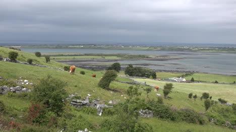 Ireland-County-Clare-Cattle-Grazing-On-Hillside