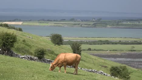 Ireland-County-Clare-Cow-Grazing-On-Hillside-Above-Estuary