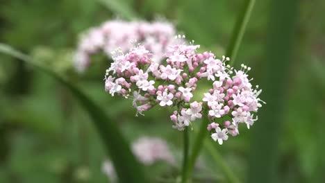 Flores-De-Seto-perejil-De-Irlanda