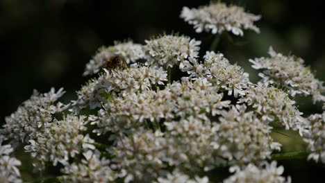 Ireland-Queen-Anne-s-Lace-With-Bee
