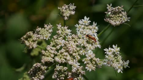 Ireland-Queen-Anne-s-Lace-With-Orange-Beetle