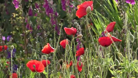 Ireland-West-Cork-Poppies-In-A-Country-Garden