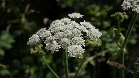 Ireland-A-Fly-Feeds-On-Queen-Anne-s-Lace