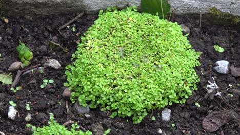 Ireland-Clumped-Green-Plant-