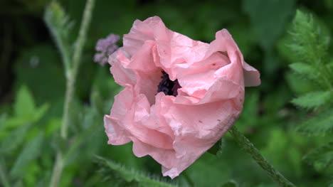 Irlanda-Amapola-Rosa-Claro-Con-Un-Interior-Oscuro