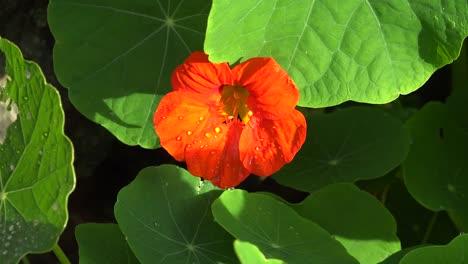 Ireland-Orange-Nasturtium-Flower