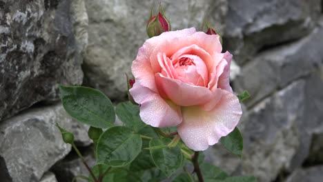 Ireland-Pink-Rose-Blooming