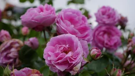 Ireland-Pink-Roses