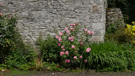 Ireland-Roses-Bloom-By-A-Stone-Wall-