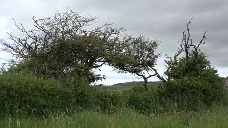 Ireland-The-Burren-Thorn-Tree