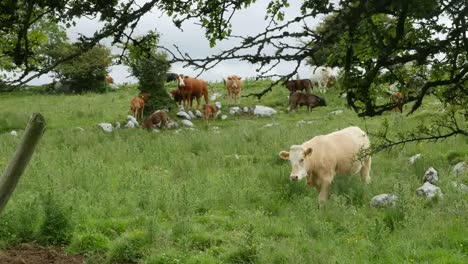 Ireland-The-Burren-With-Cow-Walking-