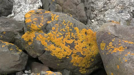 Northern-Ireland-Antrim-Zooms-On-Orange-Lichens