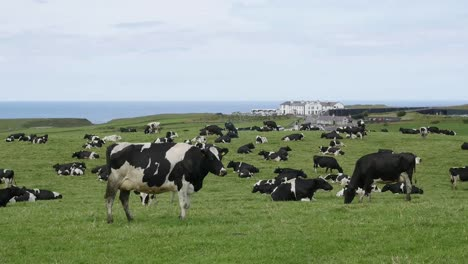 Northern-Ireland-Dairy-Cows-Graze-Near-The-Shore