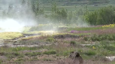 Islandia-Haukadalur-Cuenca-Del-G�iser-Con-Flores-Y-Sart�n-De-Vapor-Iceland-Haukadalur-Geyser-Basin-With-Flowers-And-Steam-Pan