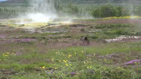 Iceland-Haukadalur-Geyser-Basin-With-Flowers-And-Steam