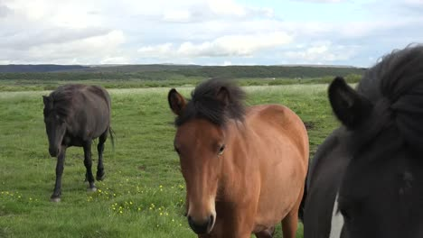 Iceland-Horses-Approach