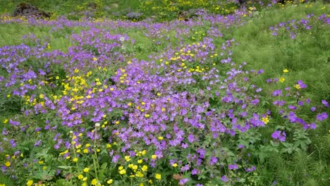 Iceland-Pingvellir-Purple-And-Yellow-Flowers