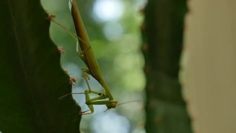 Praying-Mantis-On-Euphorbia-Grooms-Leg