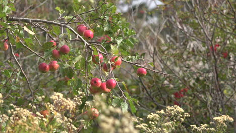 Canada-Bay-Of-Fundy-Apples-On-A-Tree