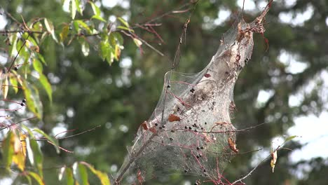 Canada-Nova-Scotia-Caterpillar-Web