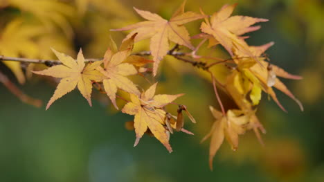 Oregon-Japanese-Maple-Leaves-And-Seeds