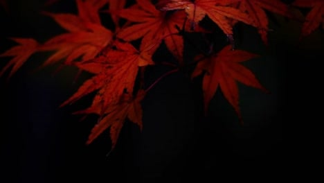 Oregon-Japanese-Maple-Leaves-In-Fall-Red-And-Black