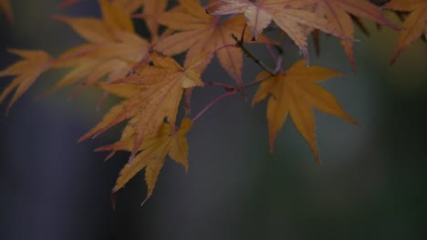 Oregon-Japanese-Maple-Leaves-In-Fall