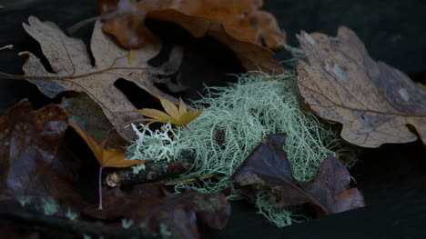 Oregon-Moss-And-Fall-Oak-Leaves